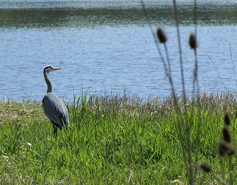 Join Audubon Society of Portland for a walk around the Kiwa Trail at Ridgefield National Wildlife Refuge.  The 1.5 mile flat gravel trail passes along some of the most bueatiful and productive open wetlands in our area: Aug 21, 2011 8AM-11AM. Info here!