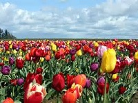 Senior Healthy Hikers: Tulip Hike and Garden Tour: Wed Apr 15, 2015 9AM-5PM. Info here!